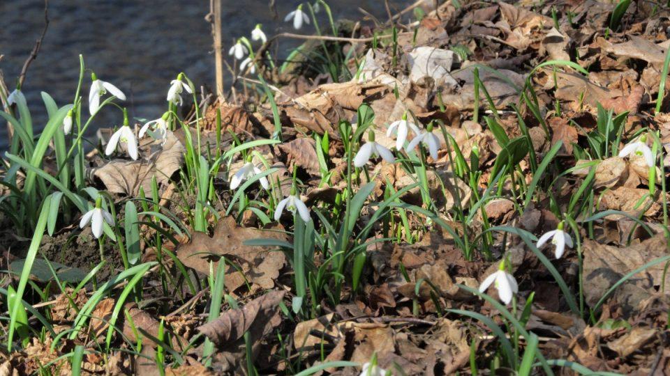 Sedlnické sněženky v lesích u říčky Sedlnice