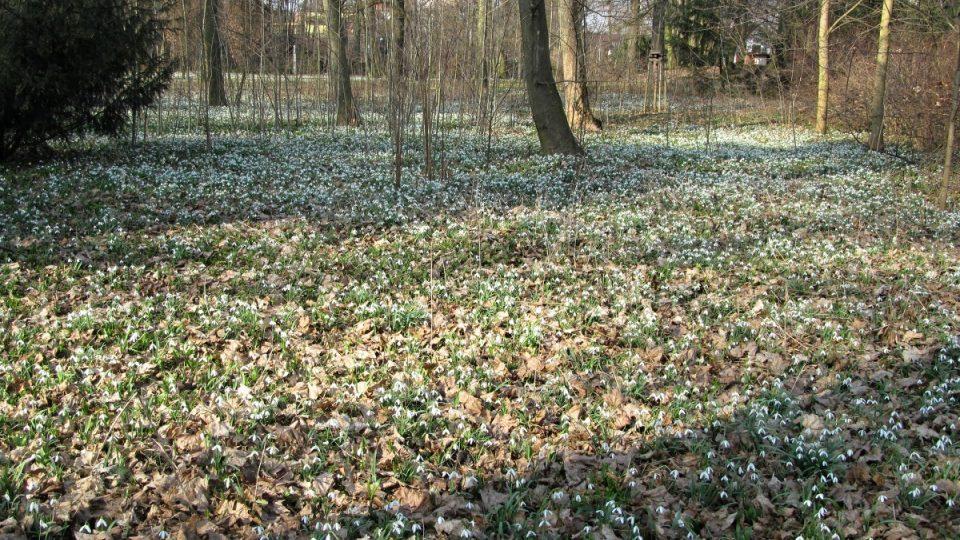 Sedlnické sněženky v zámeckém parku