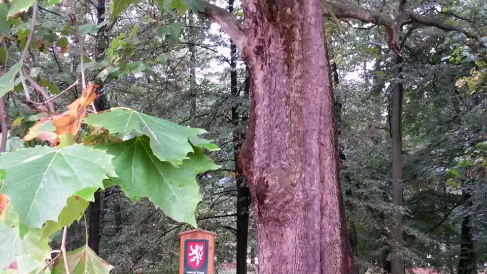 Jeden z památných stromů, pravděpodobně z původní výsadby v roce 1804