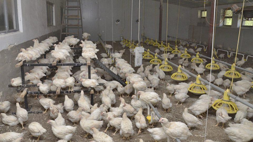 Kuřata v prostorných halách