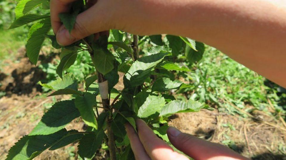 O záchranu odrůdy Mšenské Jánovky se stará místní okrašlovací spolek.