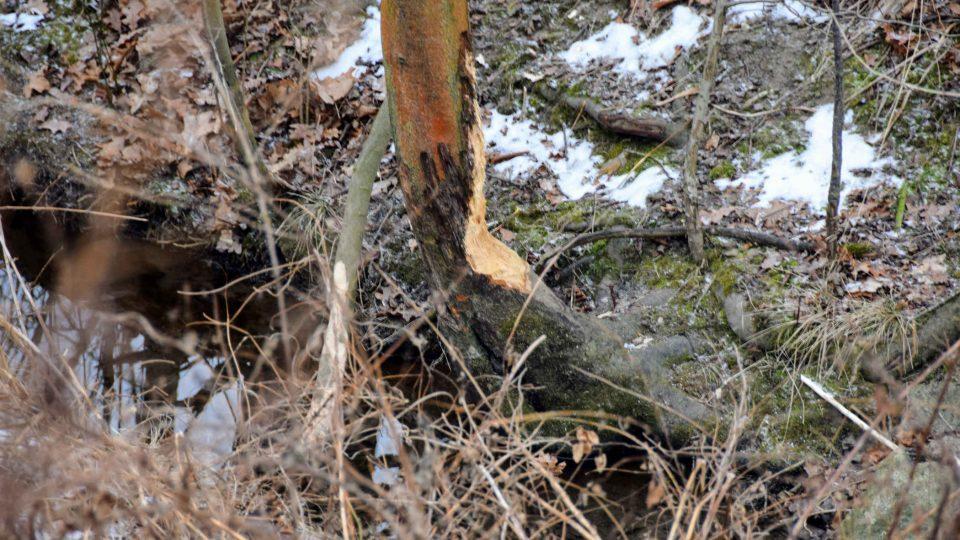 Zatím nedokončené dílo bobrů - zčásti okousaný kmen stromu