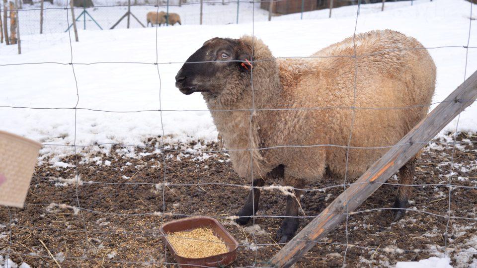 Miroslava Fojtů má před domem i několik ovcí a beranů