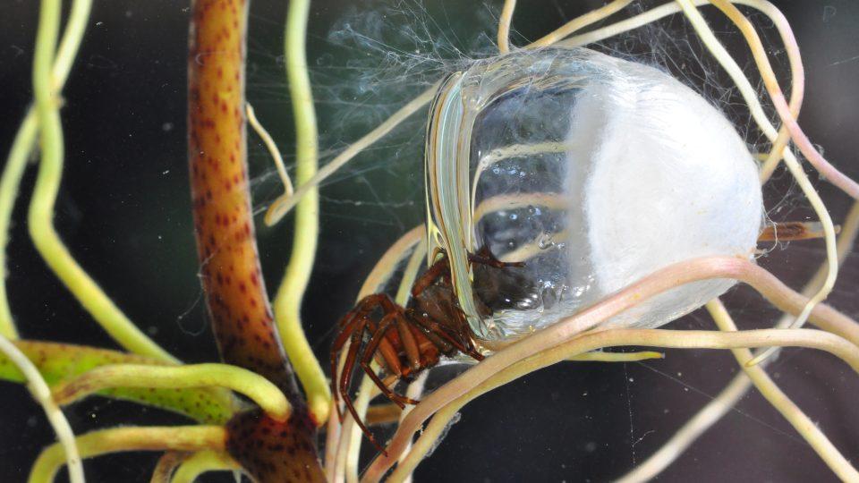 Vodouch stříbřitý (Argyroneta aquatica) v pavučinovém zvonu se vzduchovou bublinou