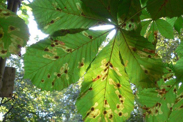 Miny klíněnky v listech jírovce