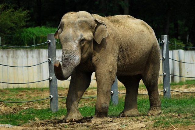 Slon indický Calvin   foto: P. Vlček  (ZOO Ostrava)