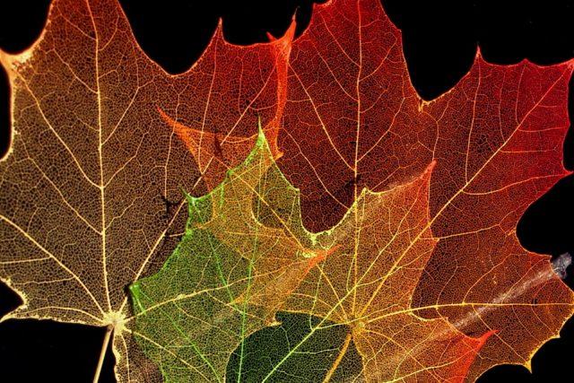 Struktura javorových listů