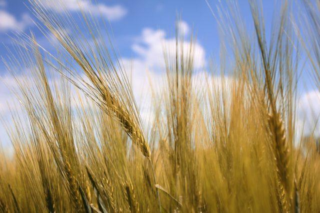 Pšenice, ilustrační obrázek