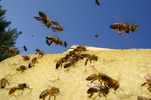 Včely (Ilustrační foto).