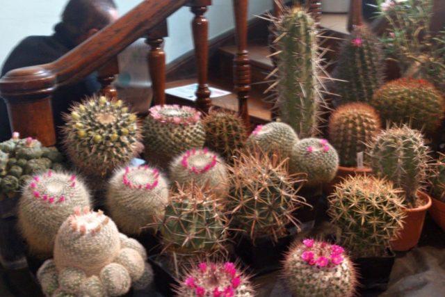 Kaktus s kvetoucí růžovou korunkou - mammillaria