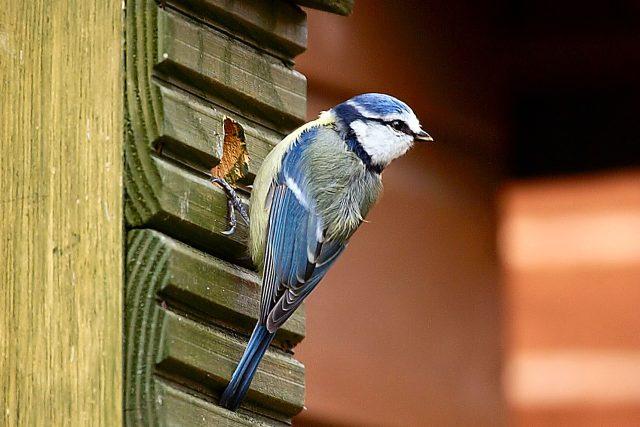 Sýkora modřinka na ptačí budce