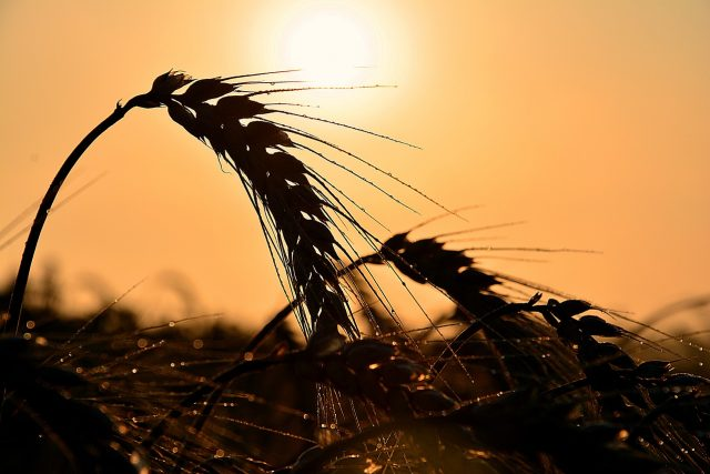 pšenice.jpg | foto: Fotobanka Pixabay