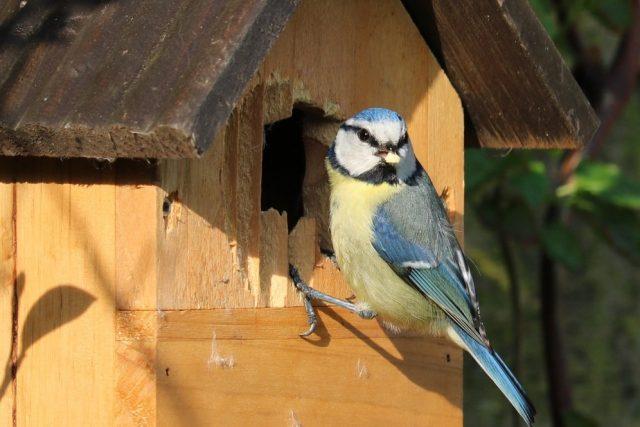 Sýkora modřinka budka pták