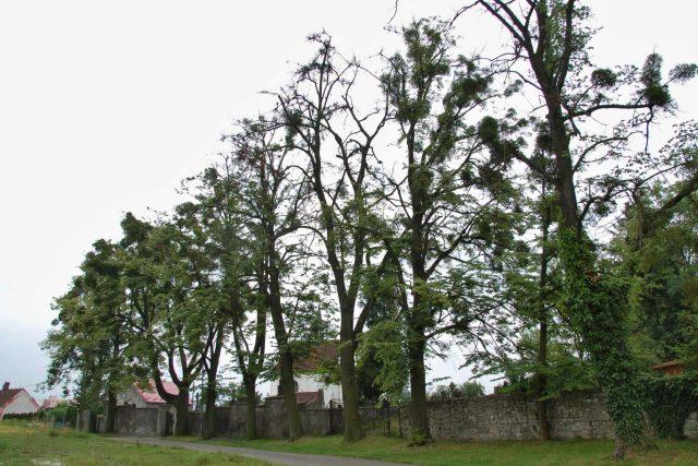 Lipová alej napadená jmelím u starého hřbitova v Příboře, která bude pokácena