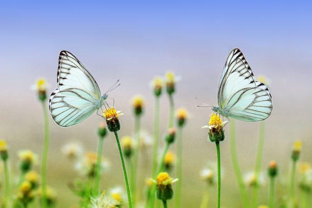 Motýli  (ilustrační foto) | foto: Fotobanka Pixabay