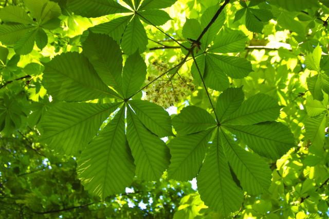 Listy kaštanu rozložením zdánlivě připomínají lidskou ruku