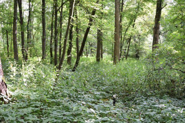 Polanský les je typickým lužním porostem