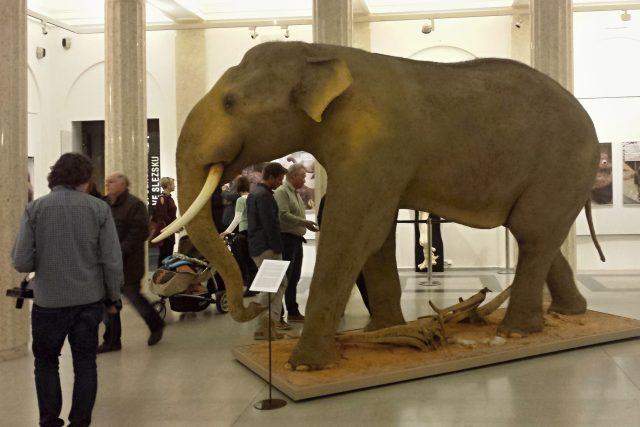 Preparát slona indického v opavském muzeu   foto: Kateřina Daňková
