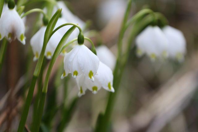 Bledule, jarní květiny