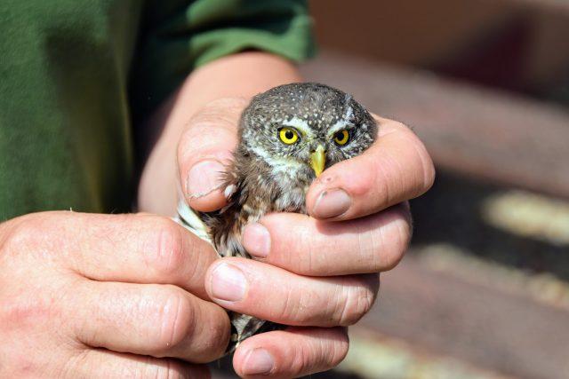 Naše nejmenší sova kulíšek nejmenší v rukou Jana Kašinského