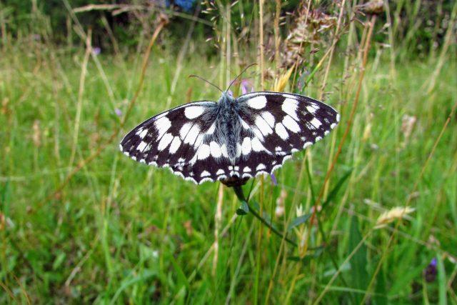 Motýl okáč bojínkový na motýlí louce