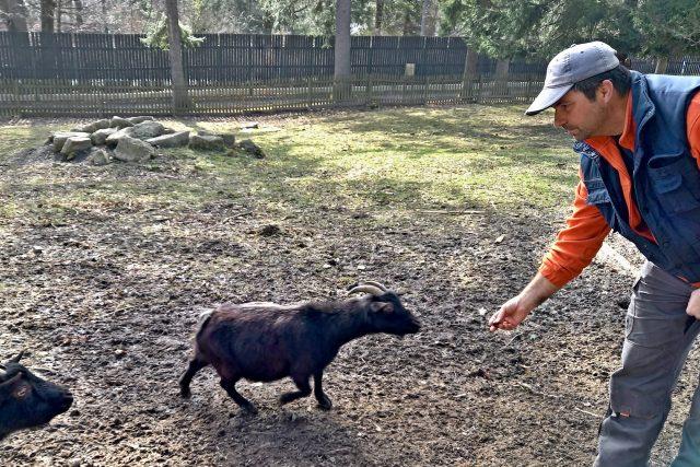 Kozy kamerunské a Marcel Polášek, který se o kozy stará především