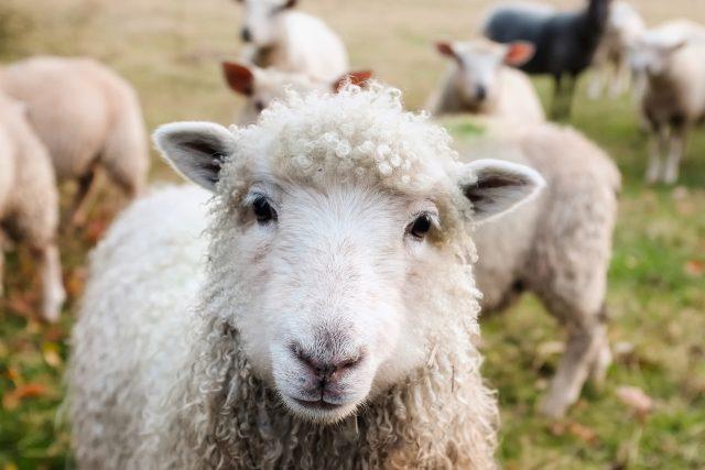 Farář díky ovcím umožňuje sobě i ostatním lidem uniknout ze světa internetu a moderních technologií | foto: Fotobanka Pixabay