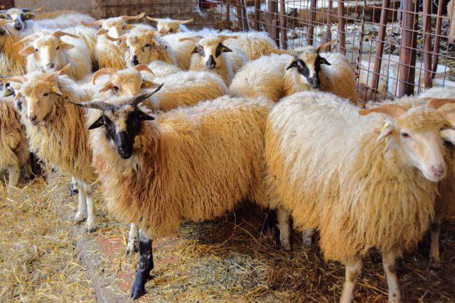 Valašské ovce na farmě Bludička v Bludovicích | foto: Michal Polášek