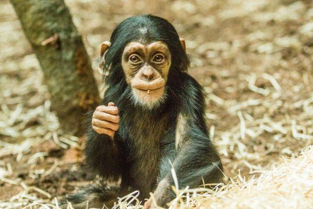 Mládě šimpanze hornoguinejského