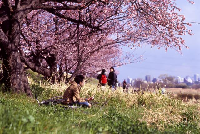 Sakura | foto:  mrhayata,  Flickr,  CC BY-SA 2.0