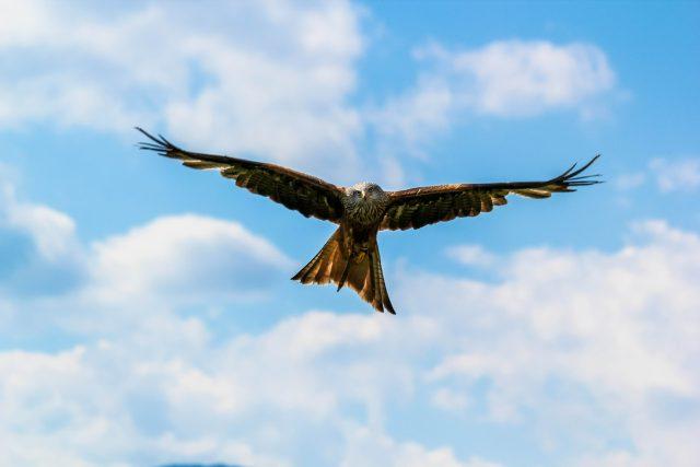 Letící orel